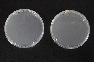 Mokkunに滴下後24時間の黄色ブドウ球菌の写真